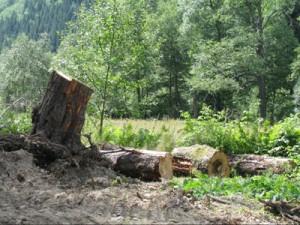 copaci-taiati