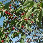cirese livada pomi