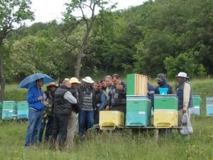 apicultori, albine alba