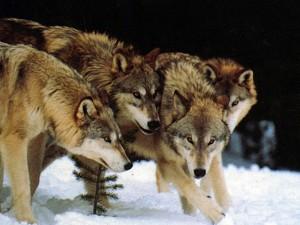 lupi animale salbatice haita