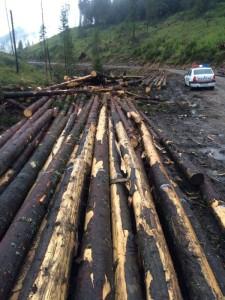 lemn confiscat busteni_3