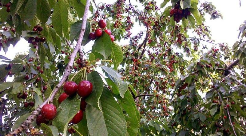 cirese pomi cires