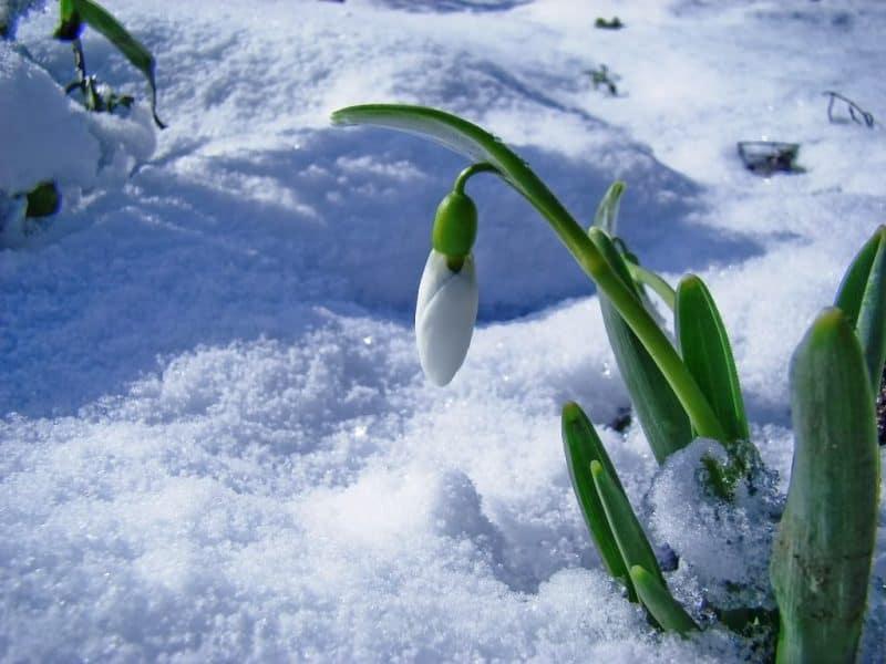 Ghiocelul Floarea Care Anunță Primăvara Dar Prevestește și