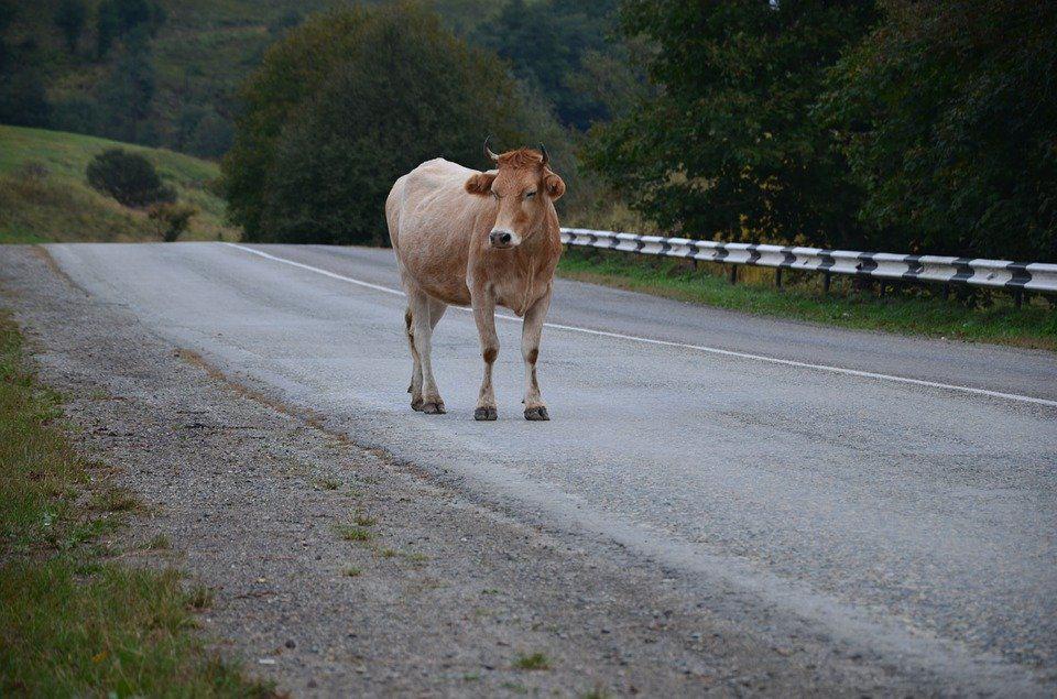 vaca drum