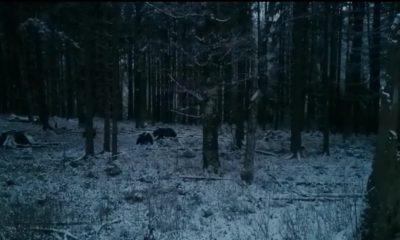 ursoaica cu pui