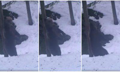 urs copac iarna padure